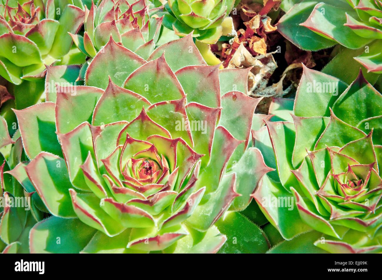 Close up di gallina e chick o piante succulente | Dicotiledoni fiore succulente Immagini Stock