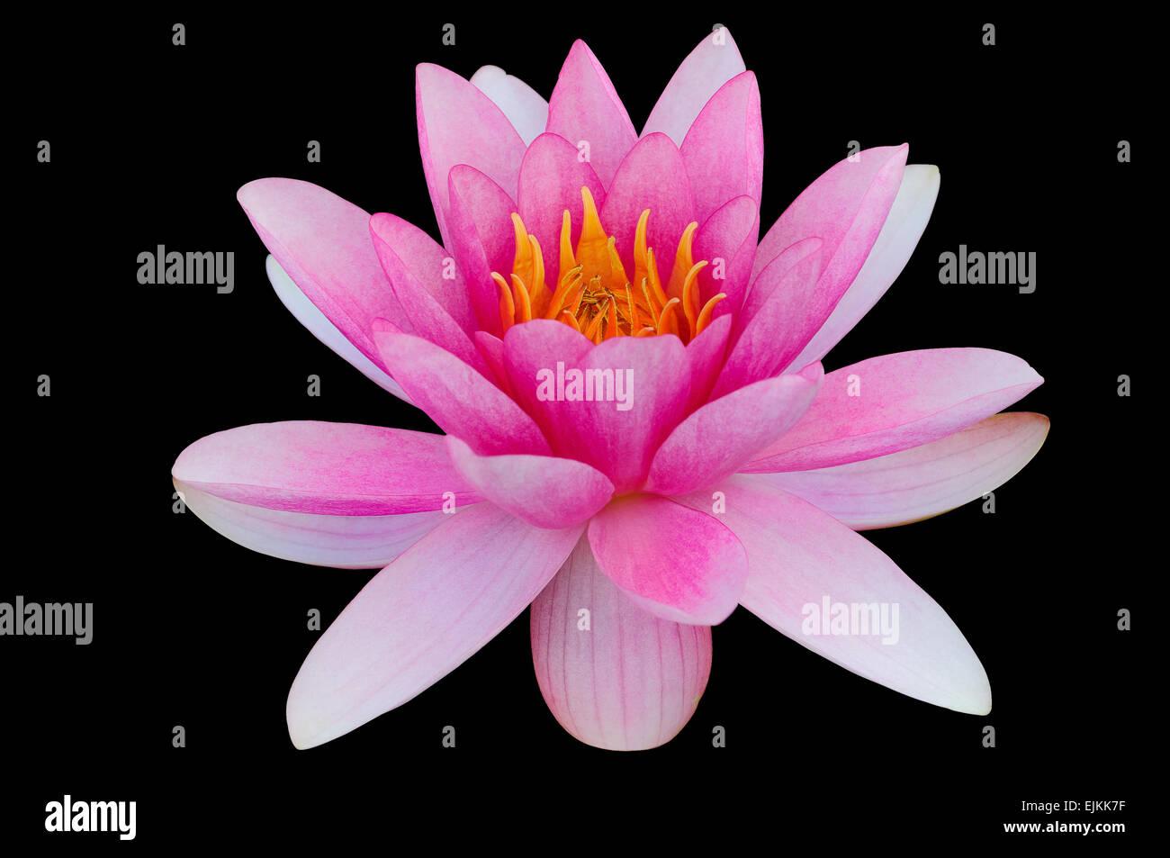Acqua di rosa lily sfondo nero clip art tracciato di ritaglio Immagini Stock