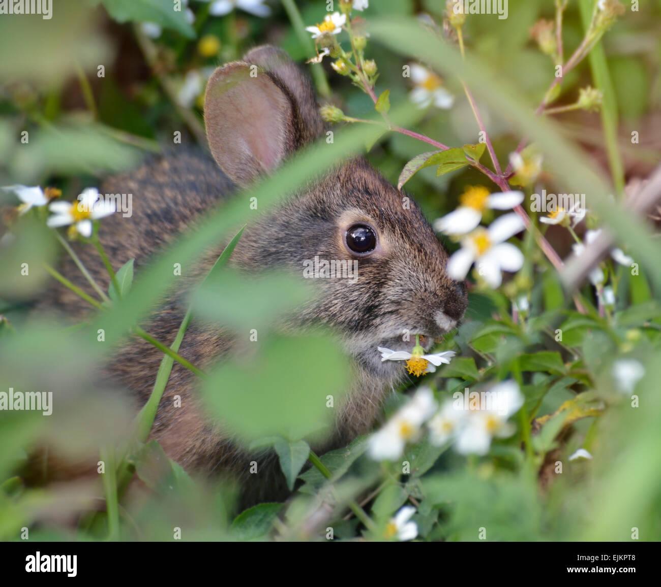 Coniglio selvatico di mangiare un fiore Immagini Stock