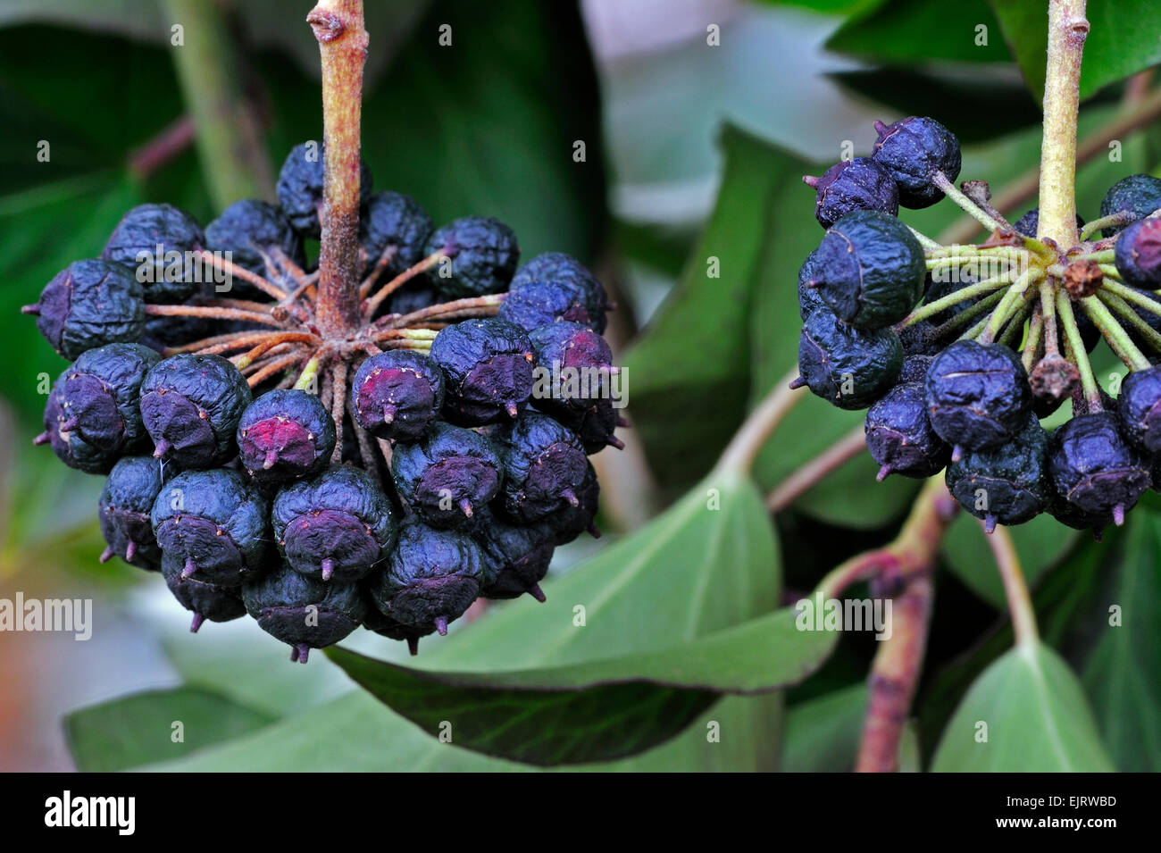 Edera comune (Hedera helix) close up di frutti di bosco Foto Stock