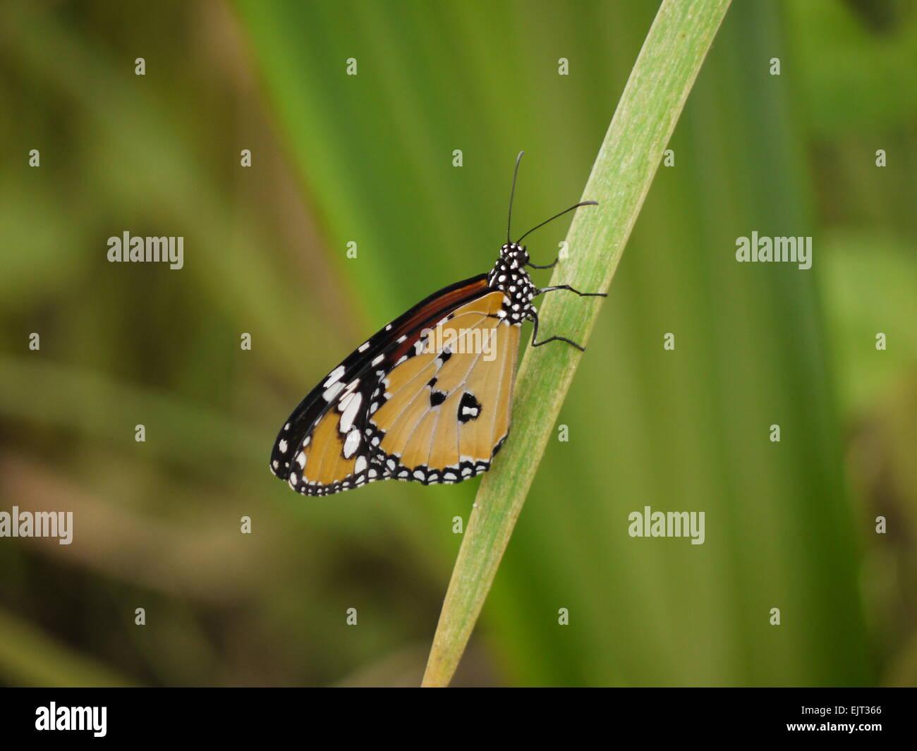 Un africano farfalla monarca (Danaus chrysippus) con ali chiuso in appoggio su una foglia Immagini Stock