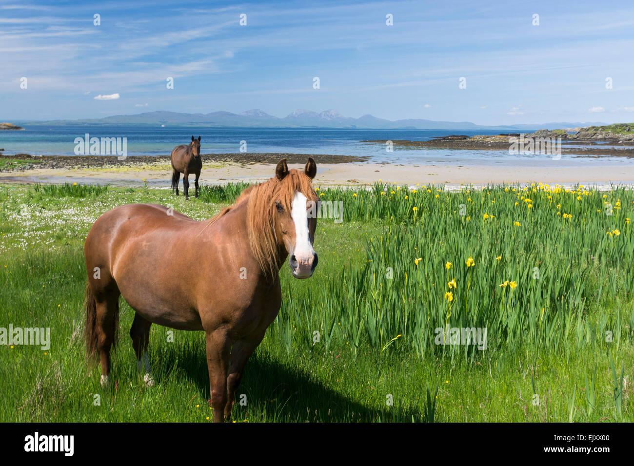 Cavalli al pascolo sulla spiaggia in riva sul gigha Immagini Stock