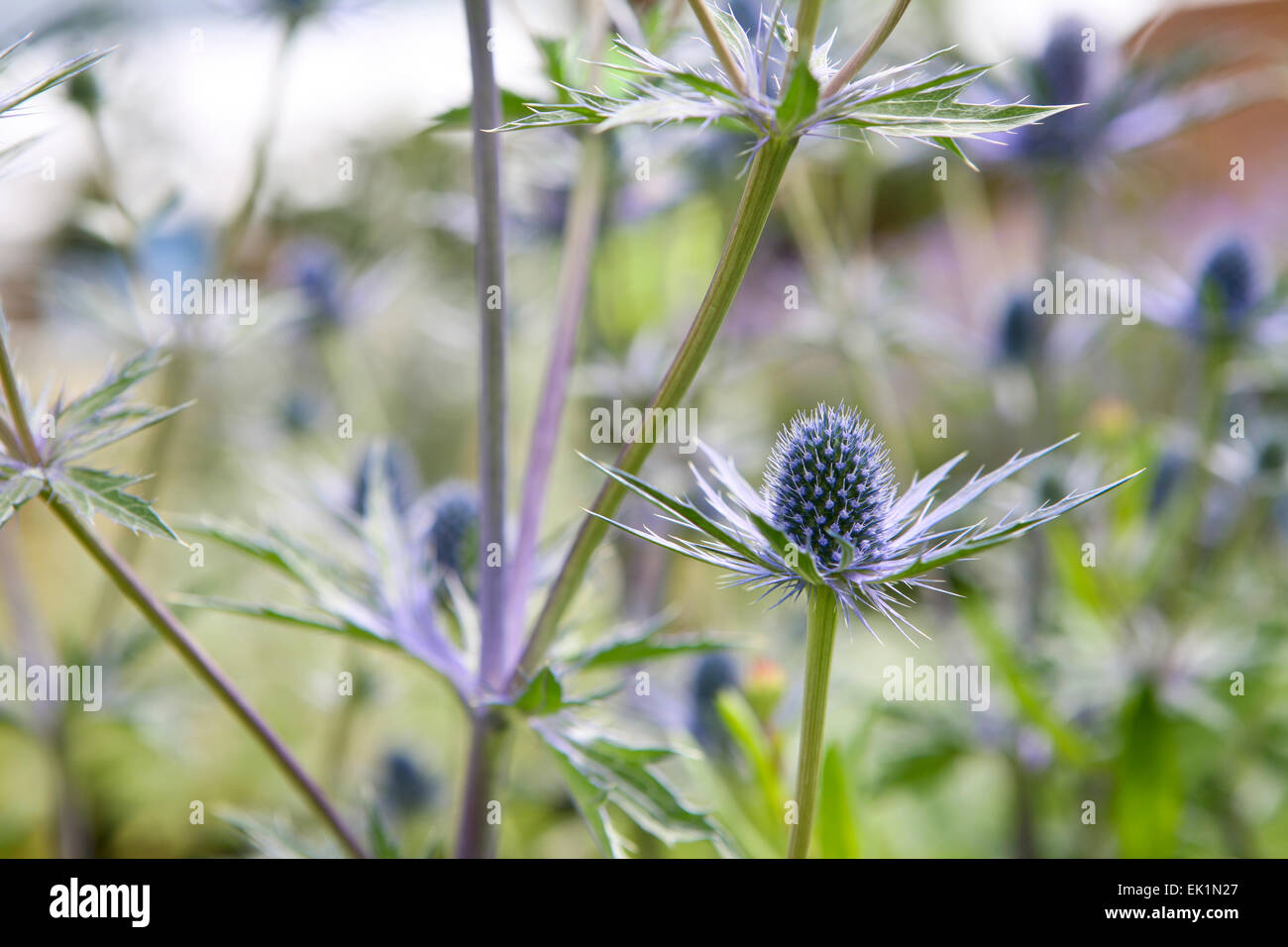 "Eryngium × zabelii ""Jos Eijking' / Mare Holly Foto Stock"