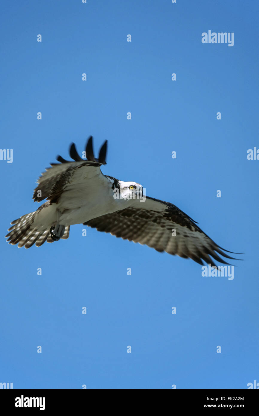 Osprey battenti circondato da blue sky a Sanibel Island, Florida, Stati Uniti d'America Immagini Stock