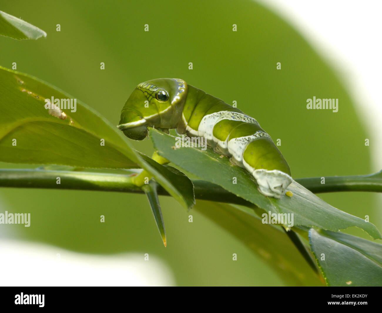 Agrumi (calce, limone) a coda di rondine Caterpillar butterfly Papilio demoleus Immagini Stock