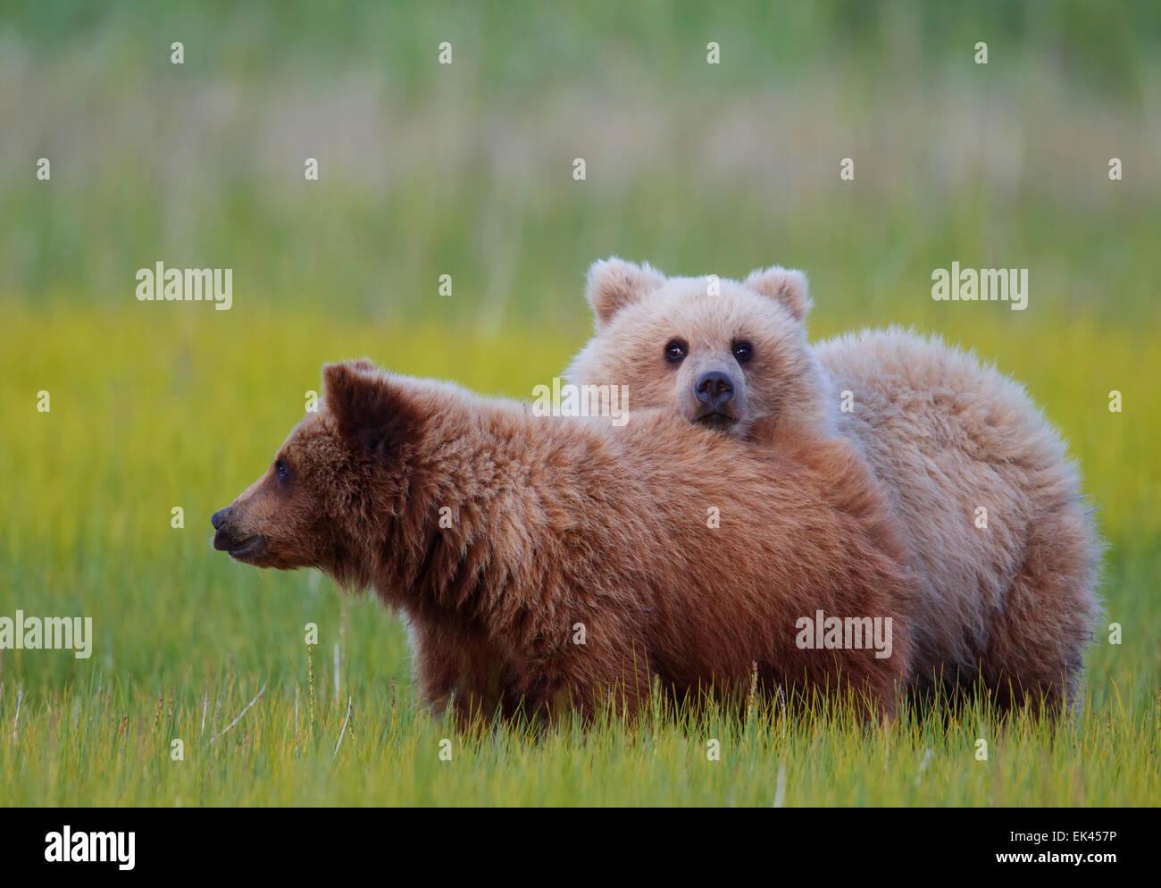 Marrone / Orso grizzly, il Parco Nazionale del Lago Clark, Alaska Immagini Stock
