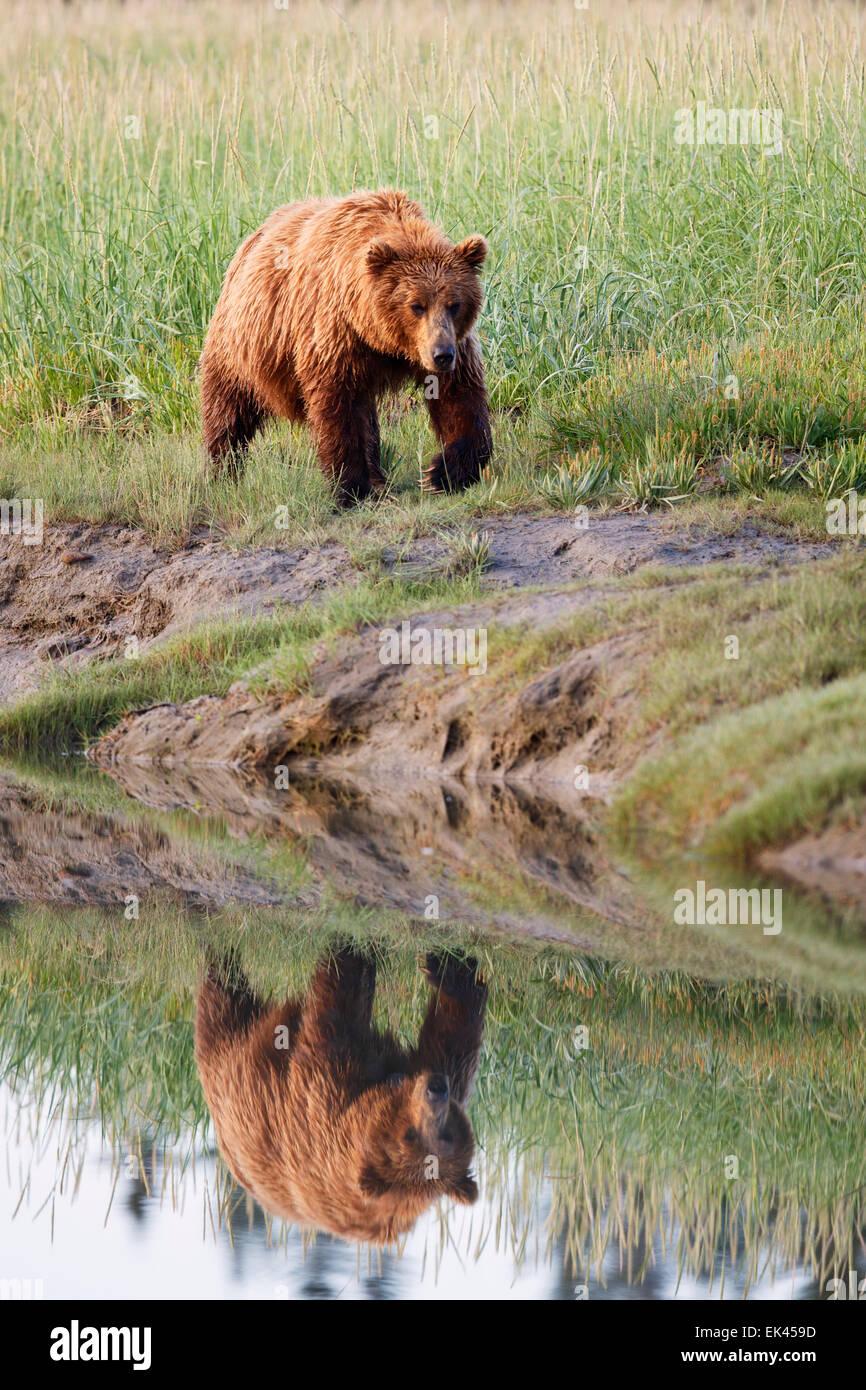 Marrone / Orso grizzly, il Parco Nazionale del Lago Clark, Alaska Foto Stock