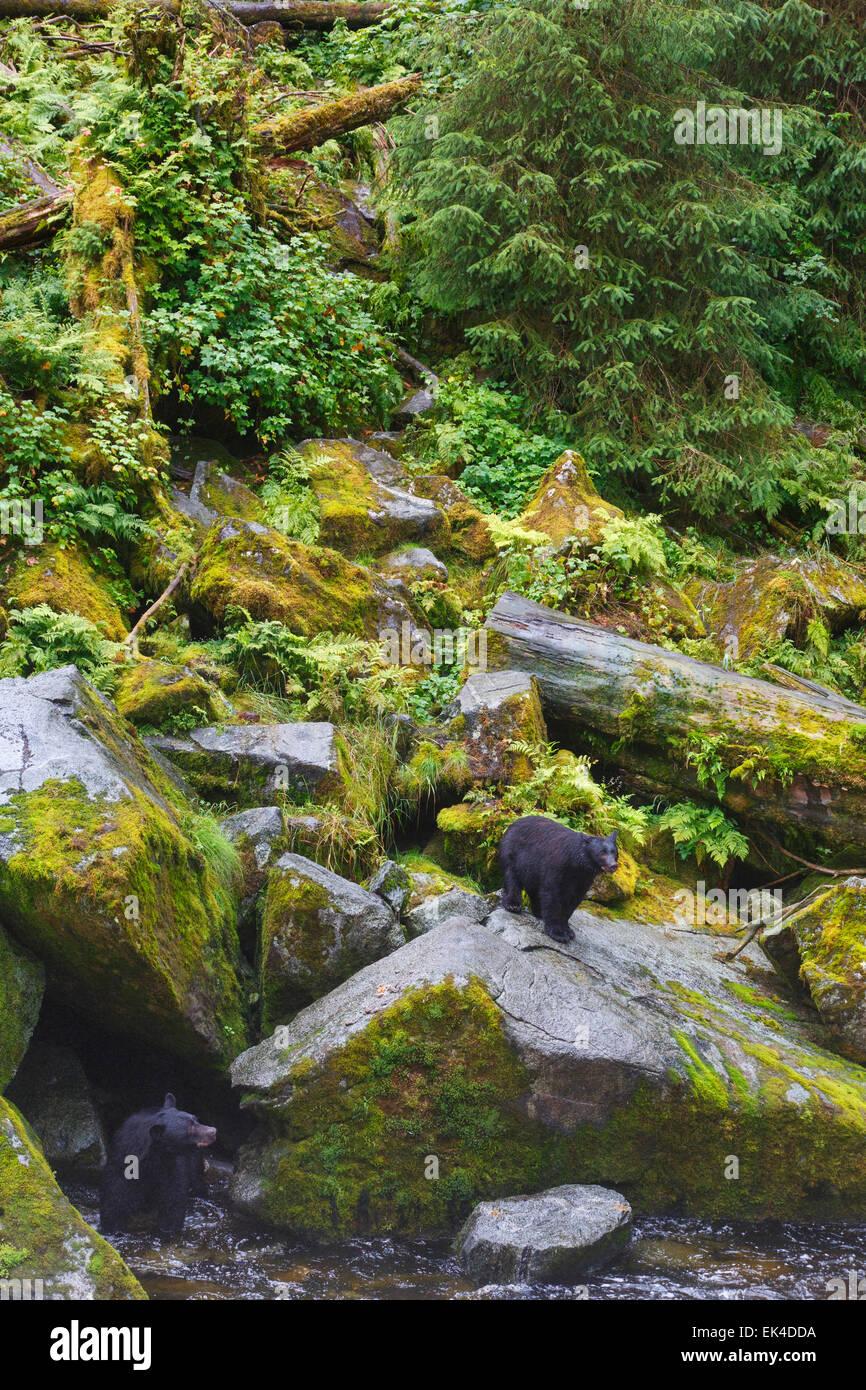 Orsi neri all'Anan Osservatorio per la fauna selvatica, Tongass National Forest, Alaska. Immagini Stock