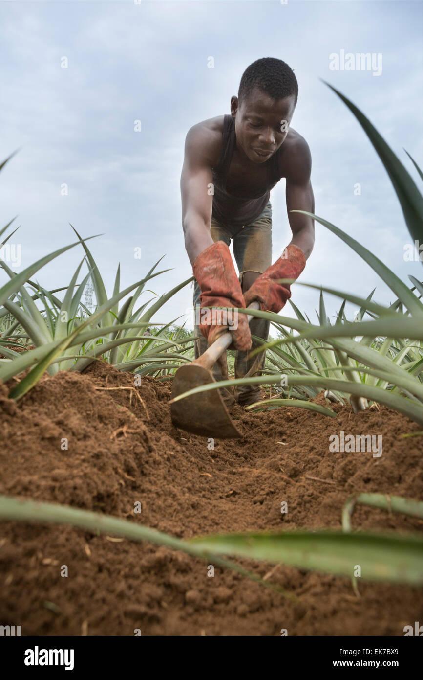 Il commercio equo e solidale ananas coltivatore di Grand Bassam, Costa d'Avorio, l'Africa occidentale. Immagini Stock