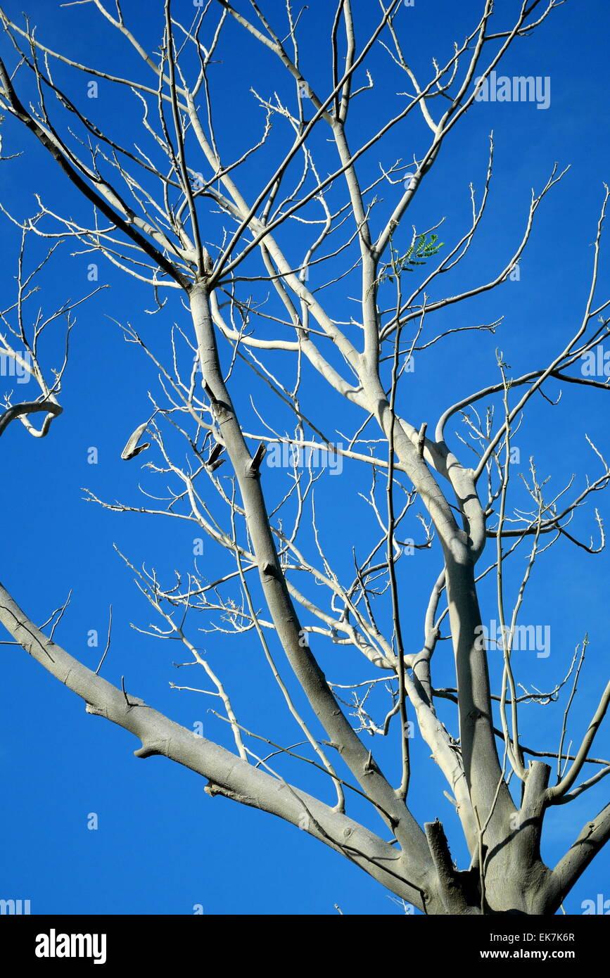 I rami di un albero morto contro un cielo blu, Saar, Regno del Bahrein Immagini Stock
