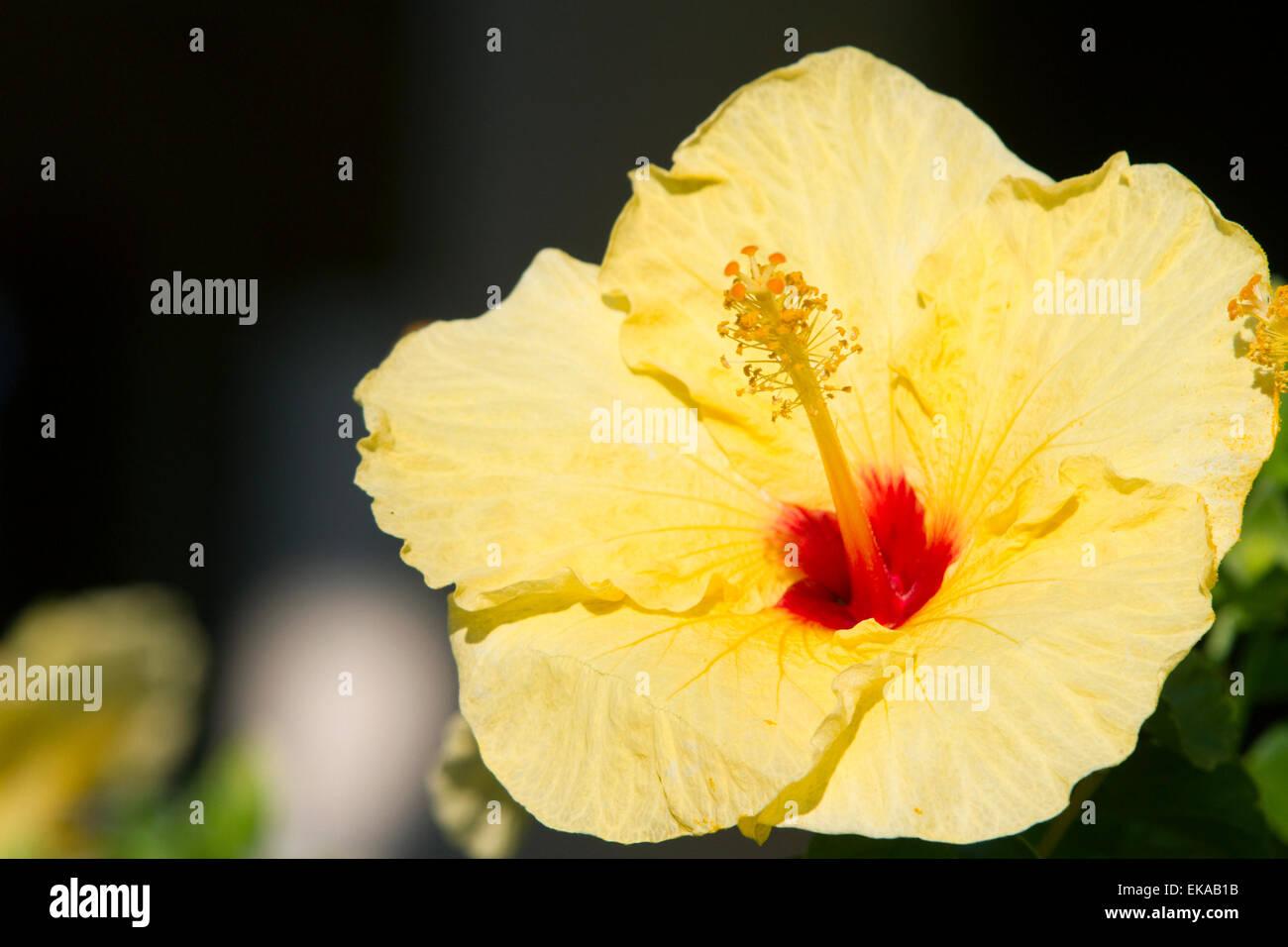 Il giallo dei fiori di ibisco in Hawaii, Stati Uniti d'America. Immagini Stock