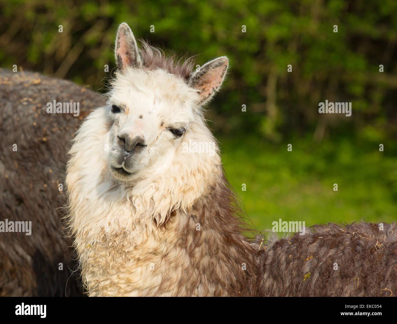 Alpaca Sud American camelid assomiglia a piccole llama con casacca utilizzata per la lana e carino sorriso Immagini Stock