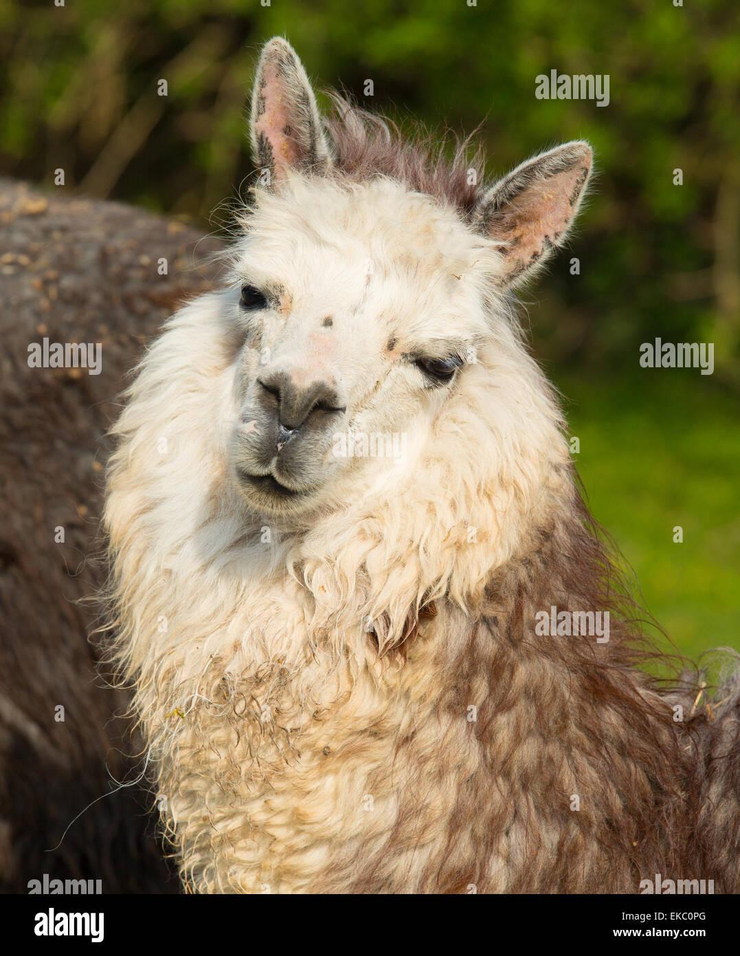 Carino Alpaca dal Sud America camelid assomiglia a piccole llama con casacca utilizzata per la lana e carino sorriso Immagini Stock