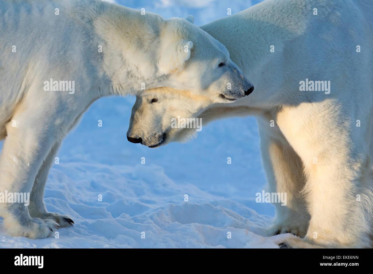 Orso polare (Ursus maritimus) maschio e femmina si riuniscono durante la stagione di accoppiamento Immagini Stock