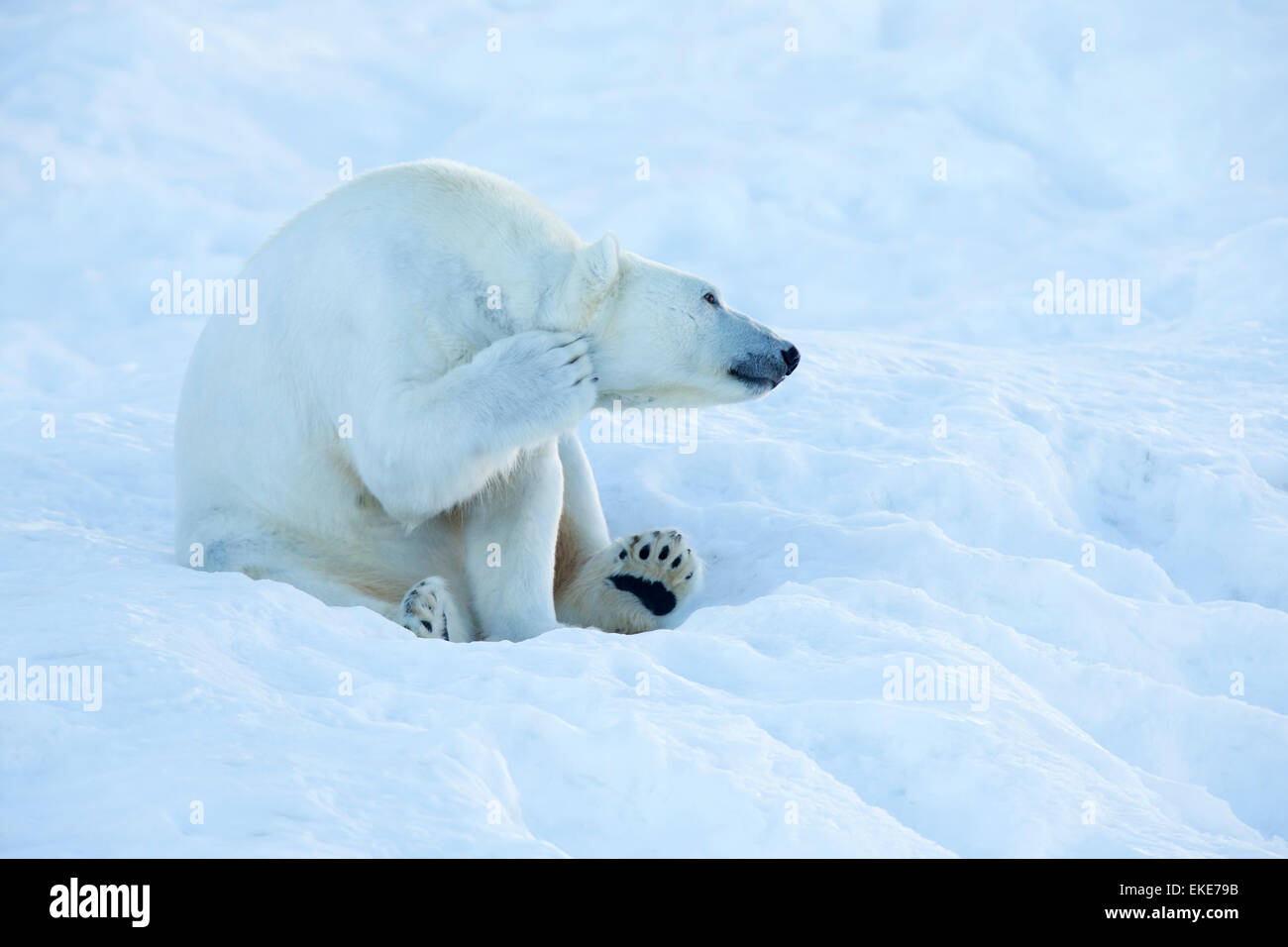 Orso polare (Ursus maritimus) graffiare e la pulizia stessa nella neve Immagini Stock
