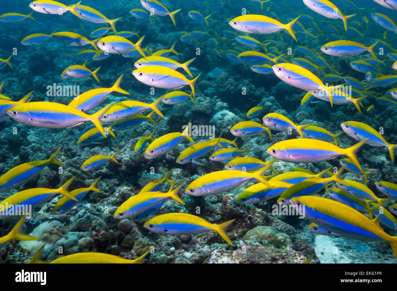 Fusilier Yellowback [Caesio xanthonota] scuola sulla barriera corallina. Maldive. Immagini Stock
