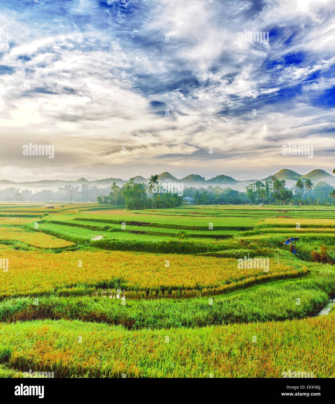 Panorama del risone in campo. Filippine Immagini Stock