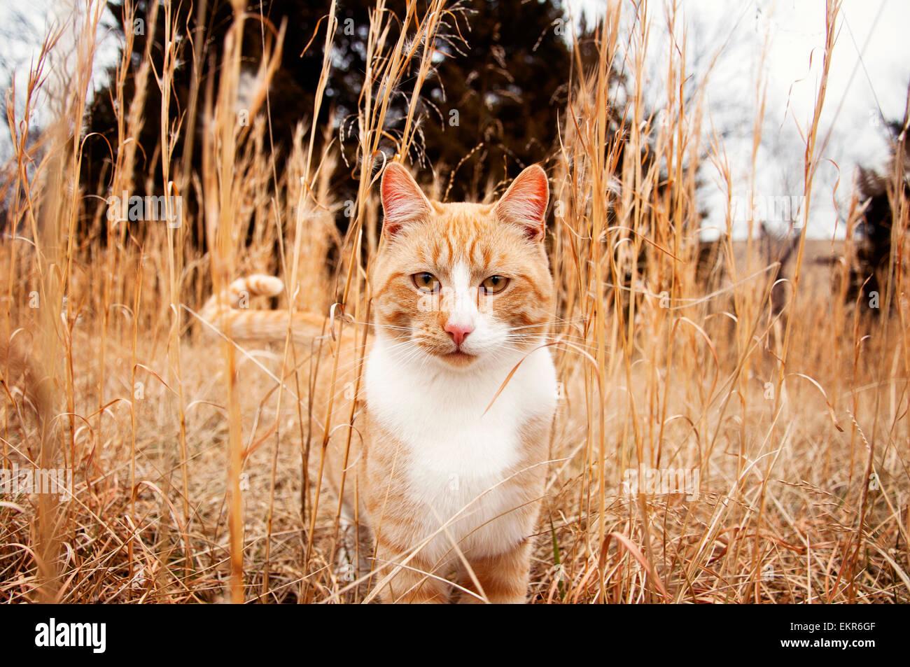 Grande maschio gatto nel prato alto Immagini Stock