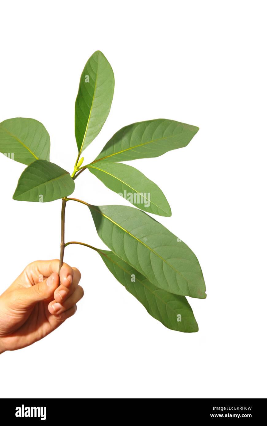 La chinina (China) albero da Lembang, West Java, Indonesia. Quinine è comunemente utilizzata per trattare la Immagini Stock
