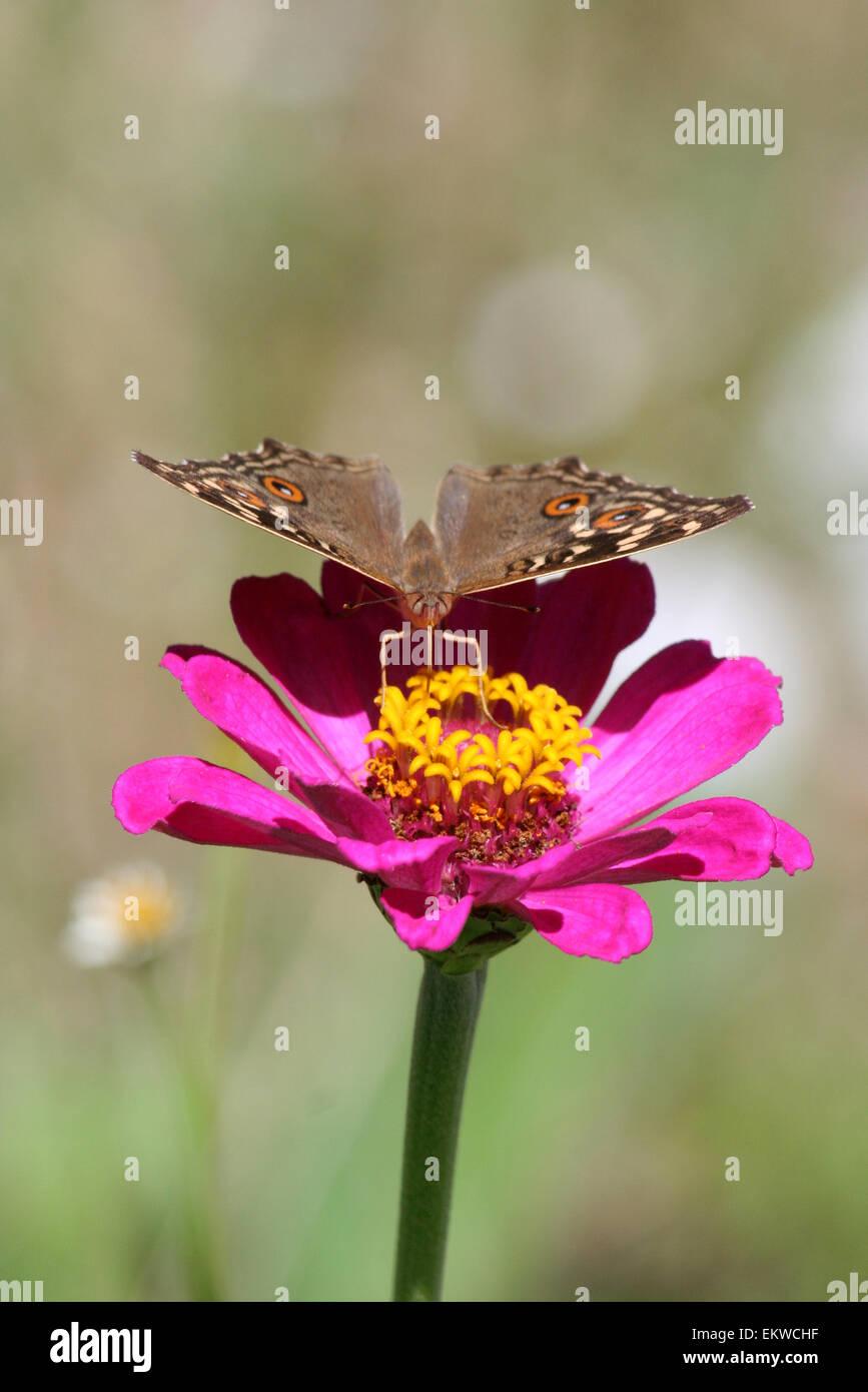 Limone Pansy Butterfly, Gunonia Lemonias, Pokhara, Nepal Immagini Stock