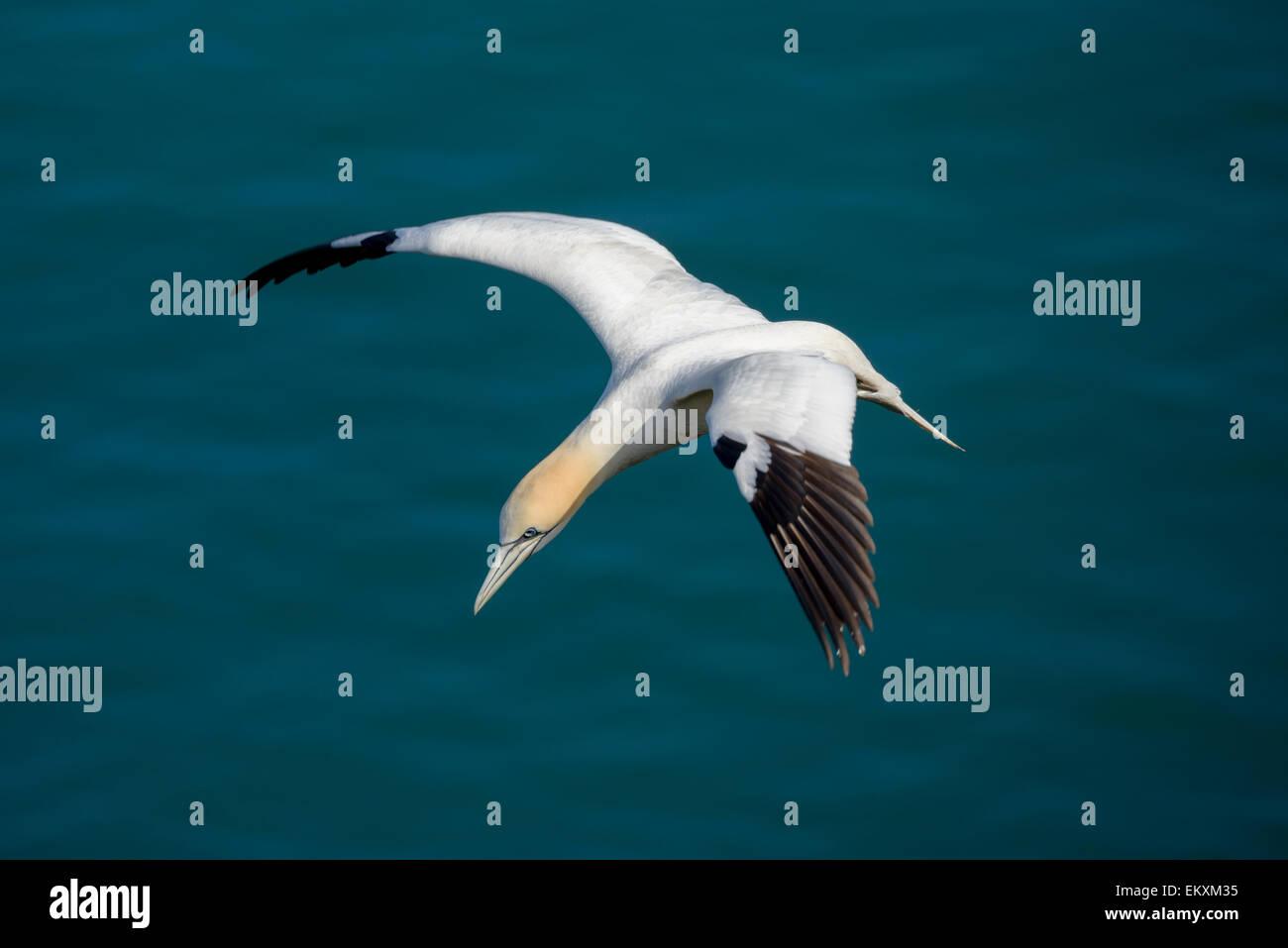 Uno un singolo northern gannet in volo sopra un azzurro-verde del mare del Nord Oceano. Foto Stock