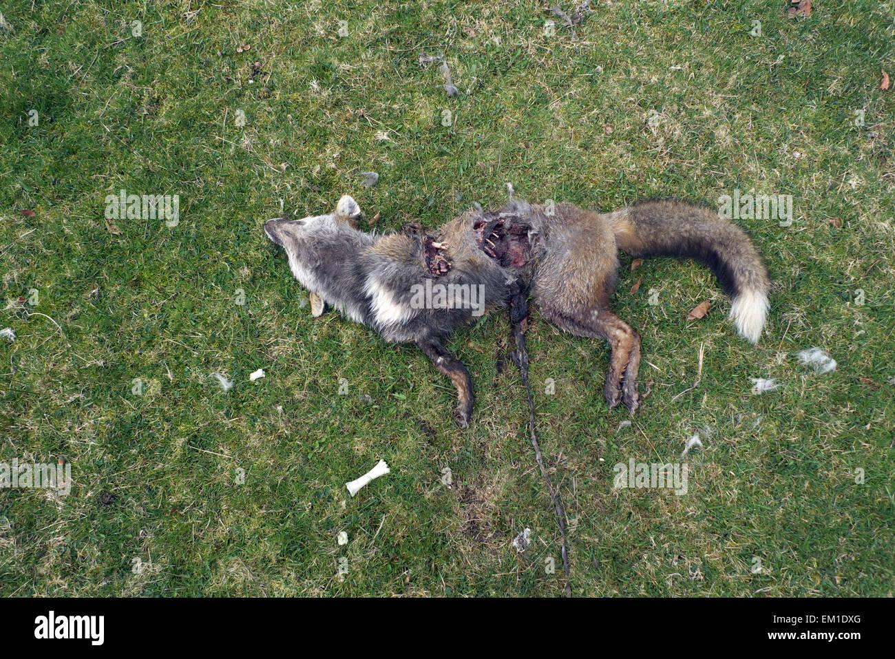 Dead fox, parzialmente predati, Dartmoor Devon, Regno Unito Immagini Stock