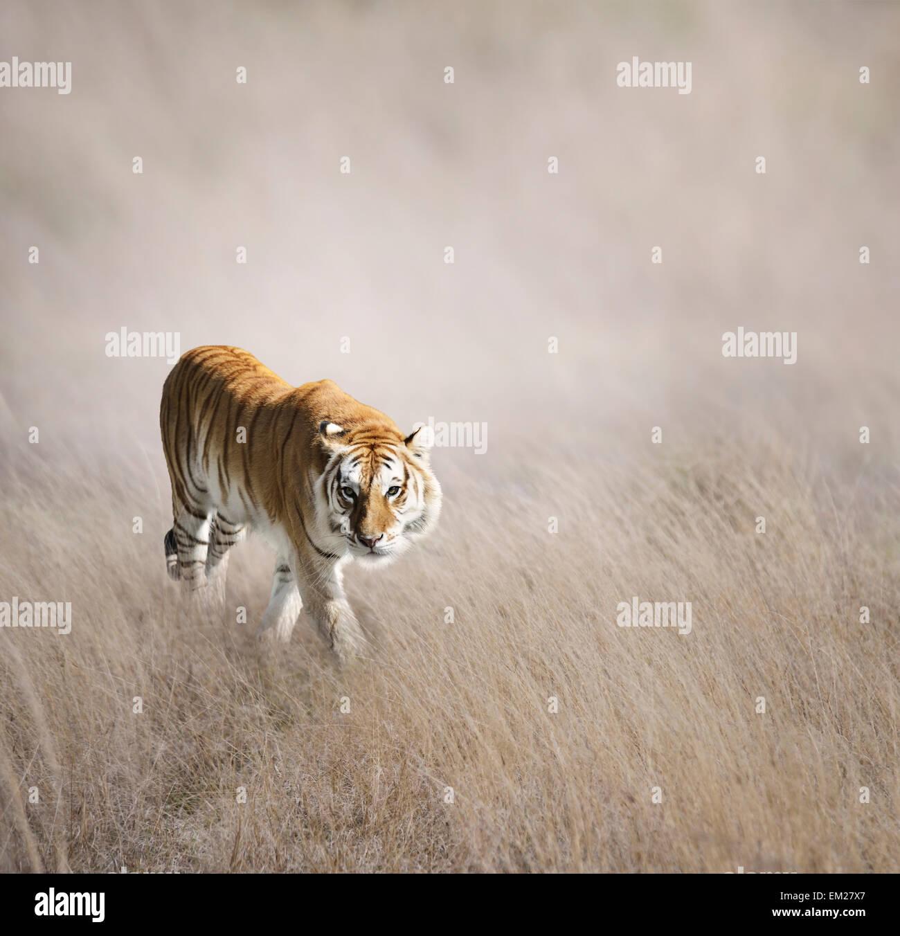 Tiger passeggiate in erba Immagini Stock