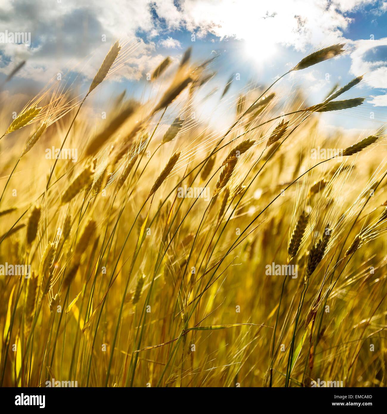 Sfondo di orecchie di maturazione del giallo campo di grano al tramonto nuvoloso cielo arancione di sfondo spazio Immagini Stock