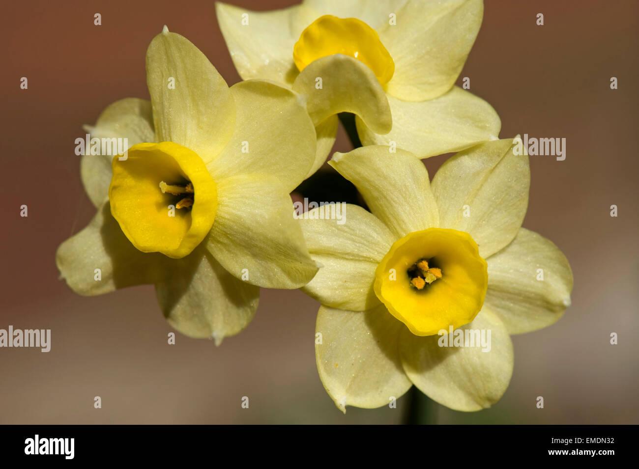 Fiori gialli di Narciso 'Minnow' una molla fioritura la lampadina Immagini Stock