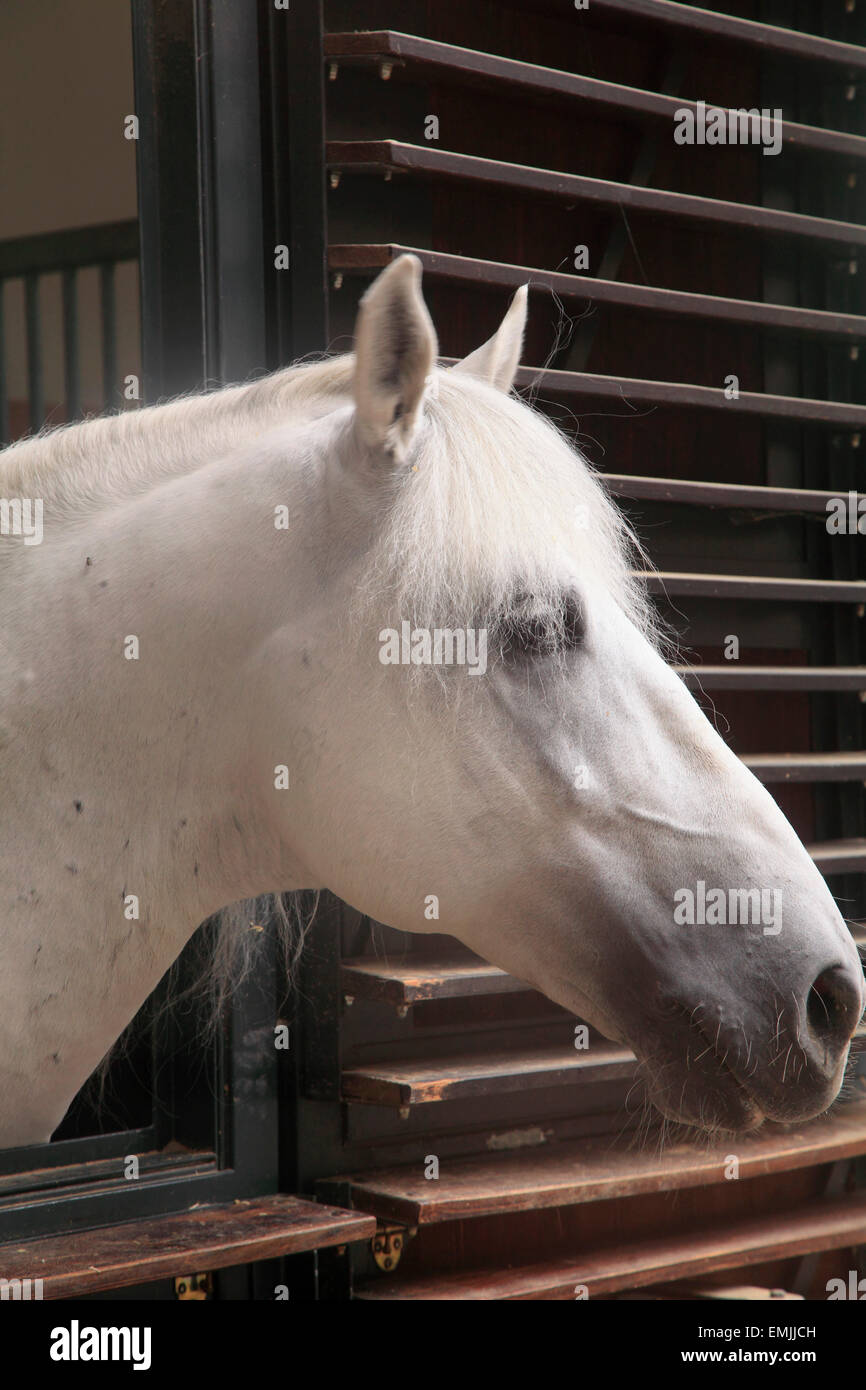 Austria, Vienna, la Scuola Spagnola di equitazione, maneggio, White Horse, Immagini Stock