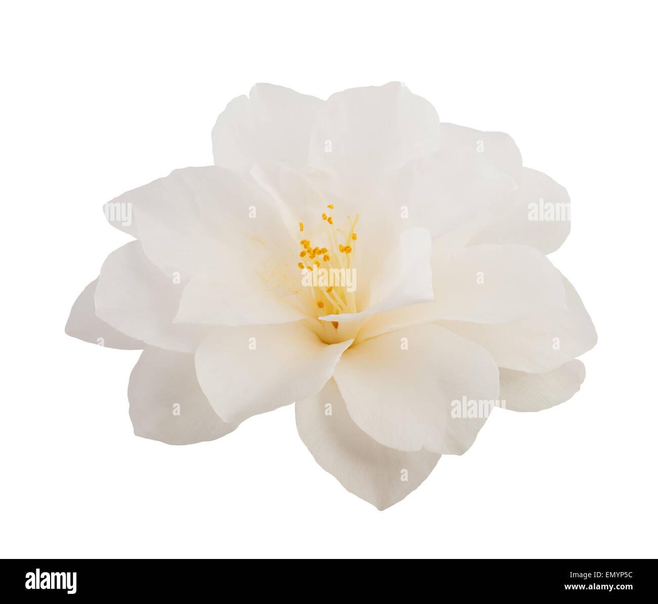 Camellia flower isolato su bianco Immagini Stock