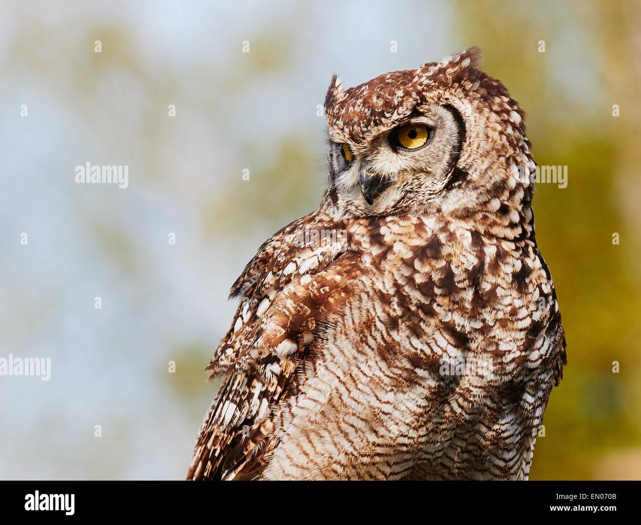 Blue green owl immagini & blue green owl fotos stock alamy