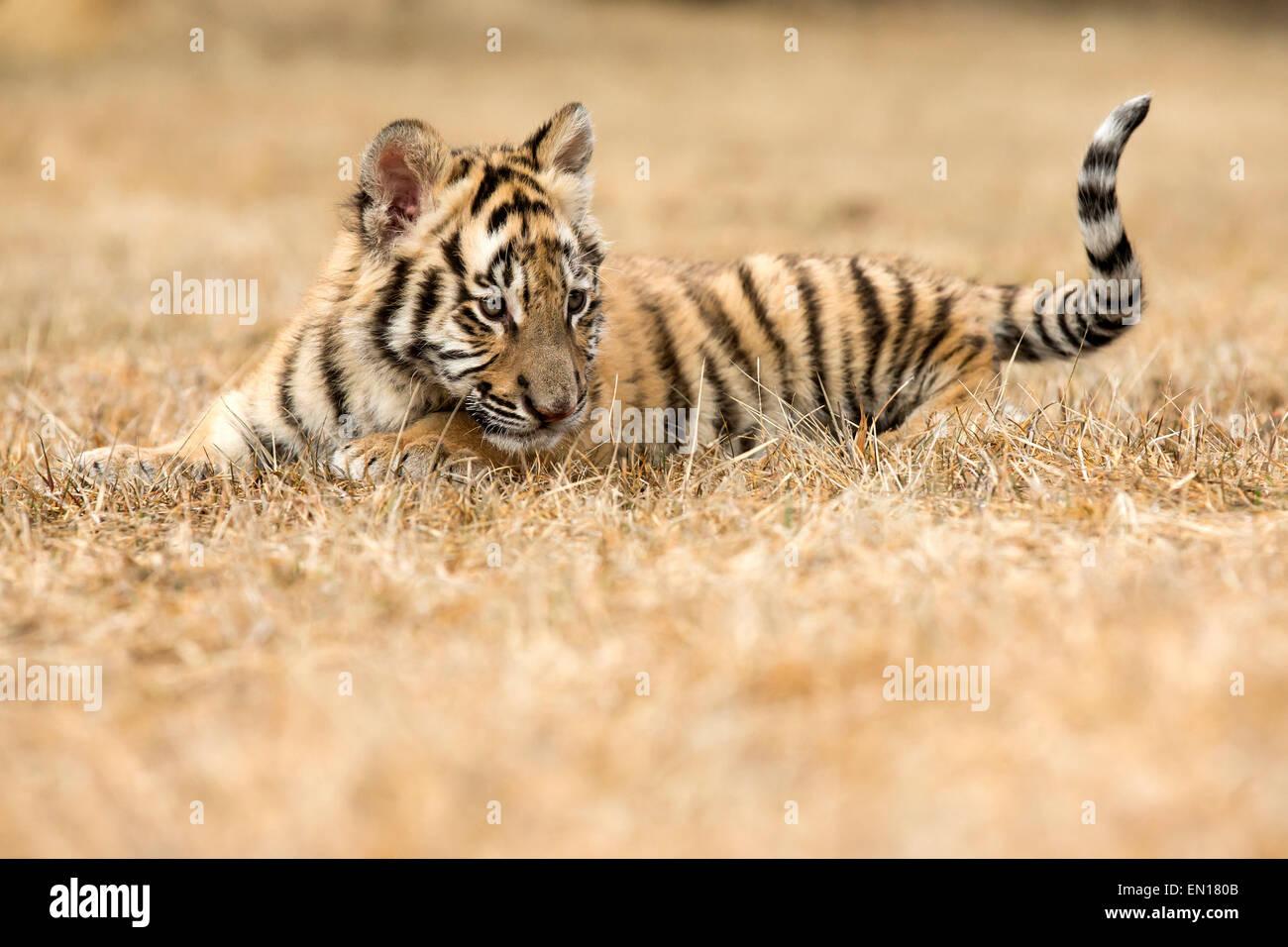 Tigre Siberiana (Panthera Tigris Altaica) cub giocando in erba Immagini Stock