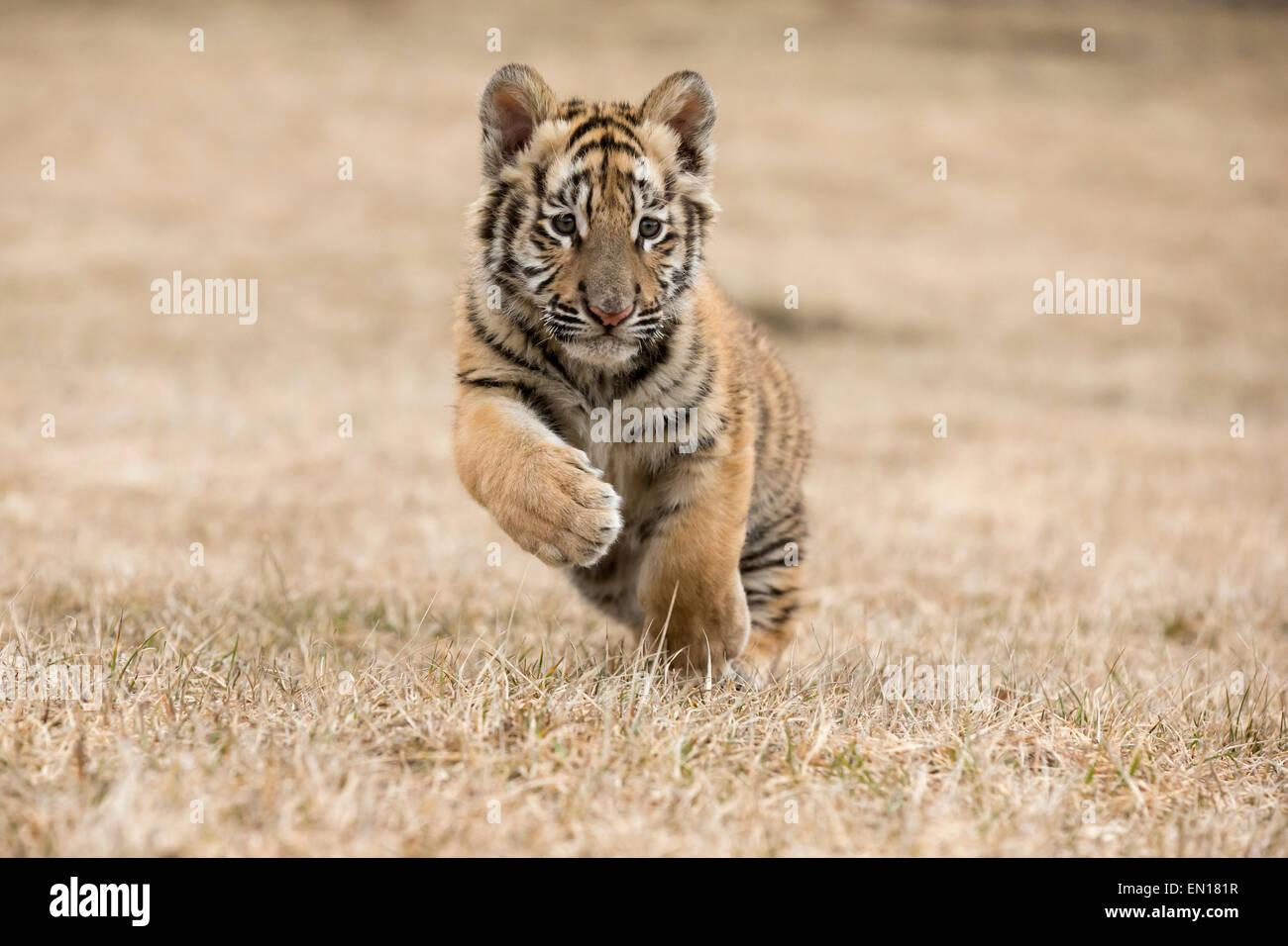 Tigre Siberiana (Panthera Tigris Altaica) cub in esecuzione attraverso l'erba Immagini Stock