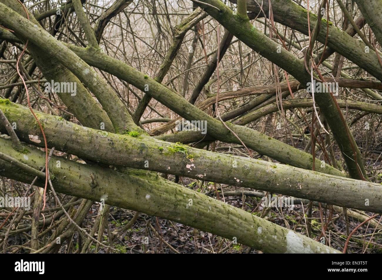 Una fitta foresta rami Immagini Stock