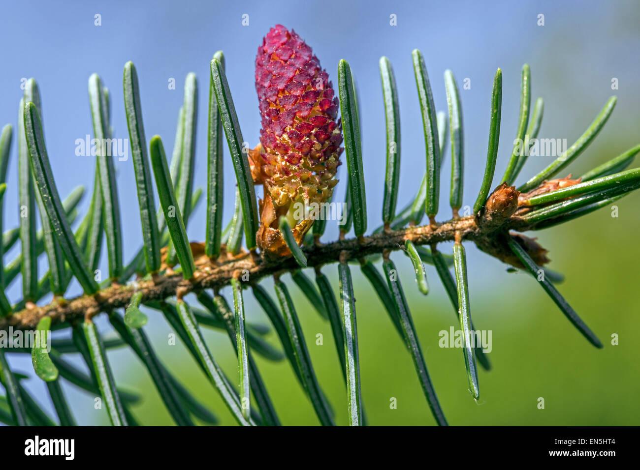 Unione di abete bianco (Abies alba) close up fiore maschile e gli aghi Immagini Stock