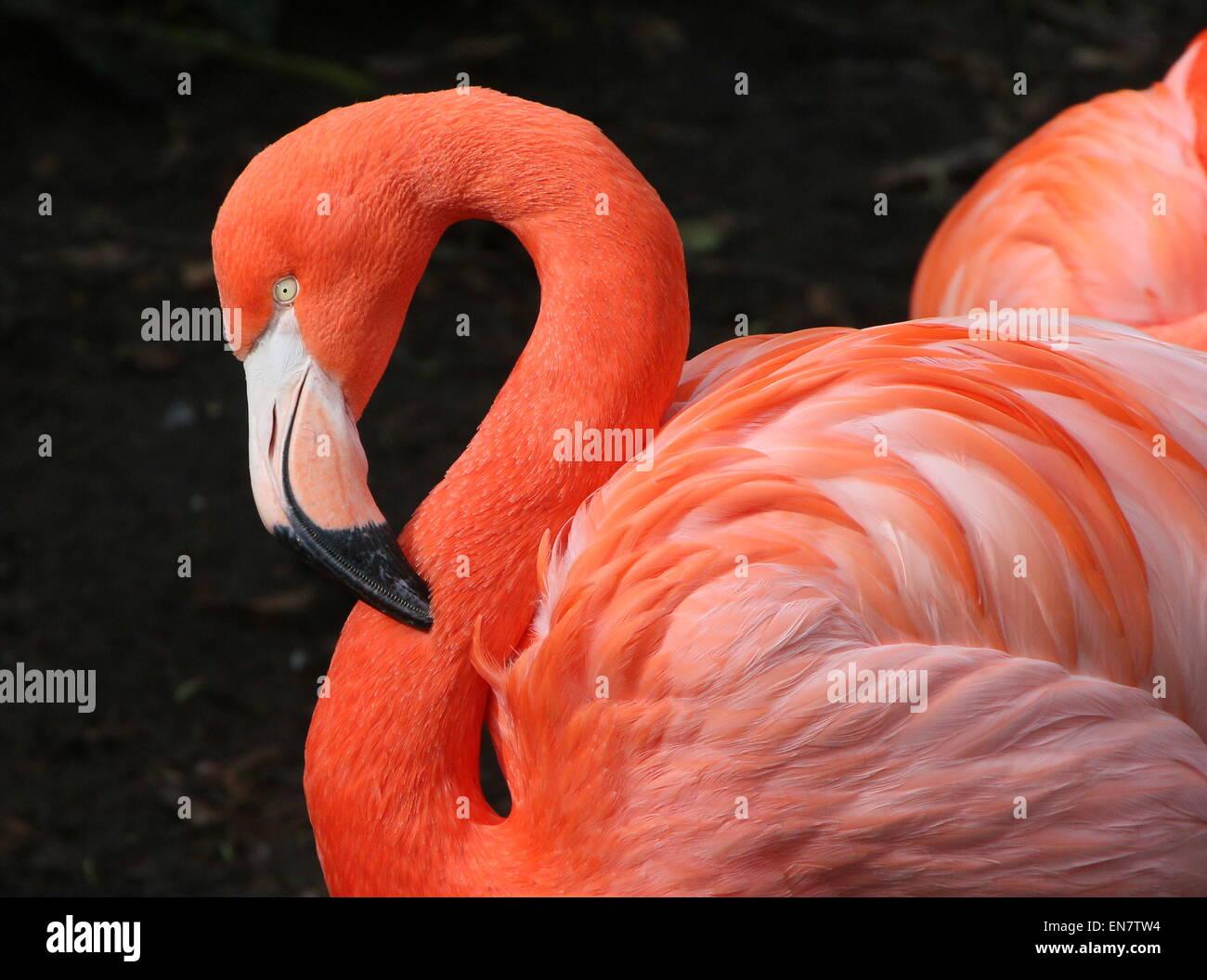 Americana o dei Caraibi flamingo ( Phoenicopterus ruber), primo piano della testa e del corpo Immagini Stock