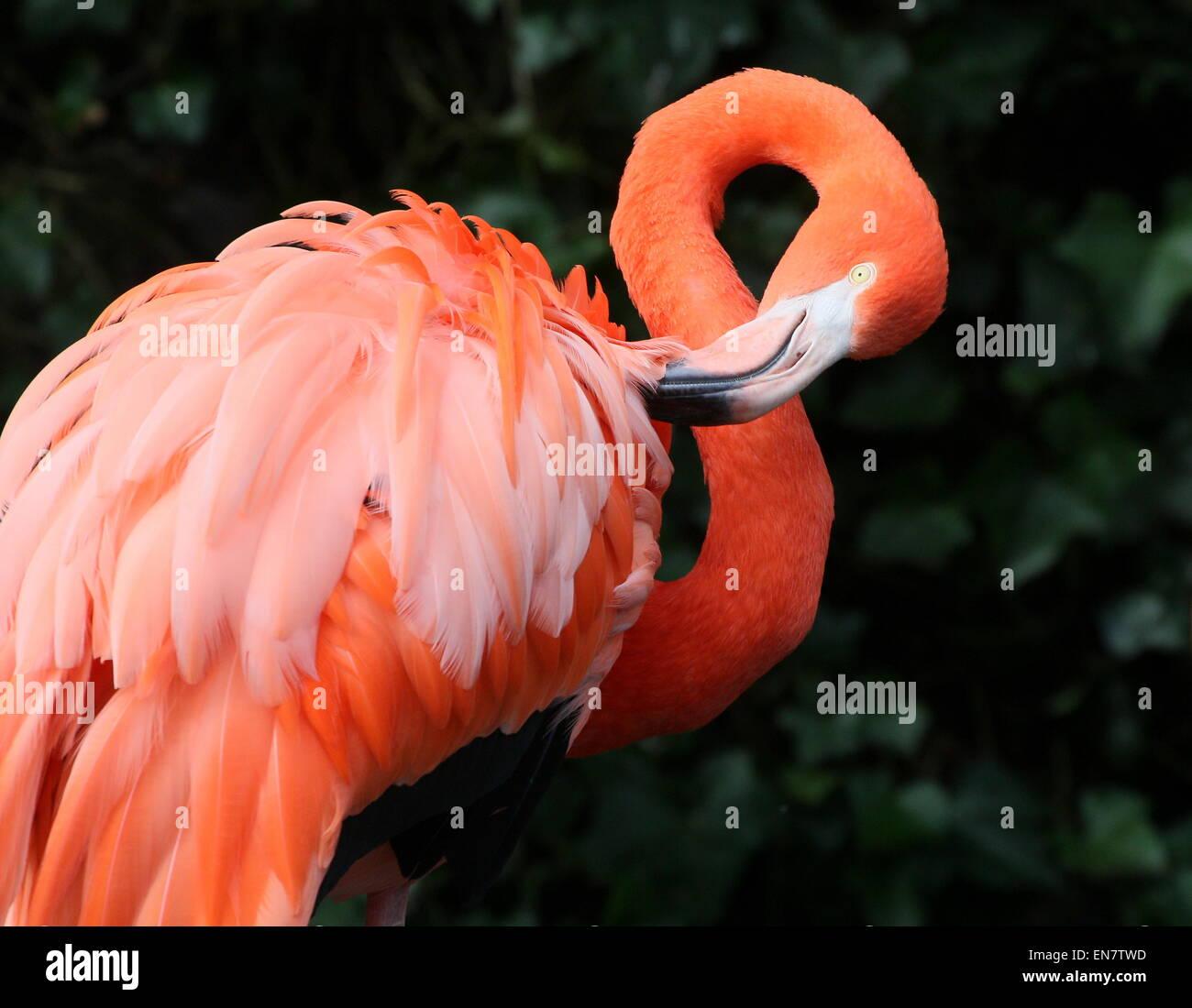 Preening americana o dei Caraibi flamingo ( Phoenicopterus ruber), primo piano della testa e del corpo Foto Stock