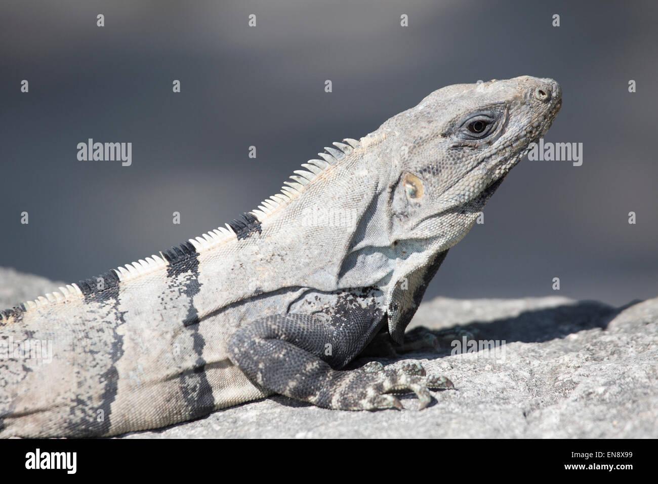 Spinosa nero-tailed Iguana (Ctenosaura similis) presso il Sandos Caracol Eco Resort sulla penisola dello Yucatan Immagini Stock
