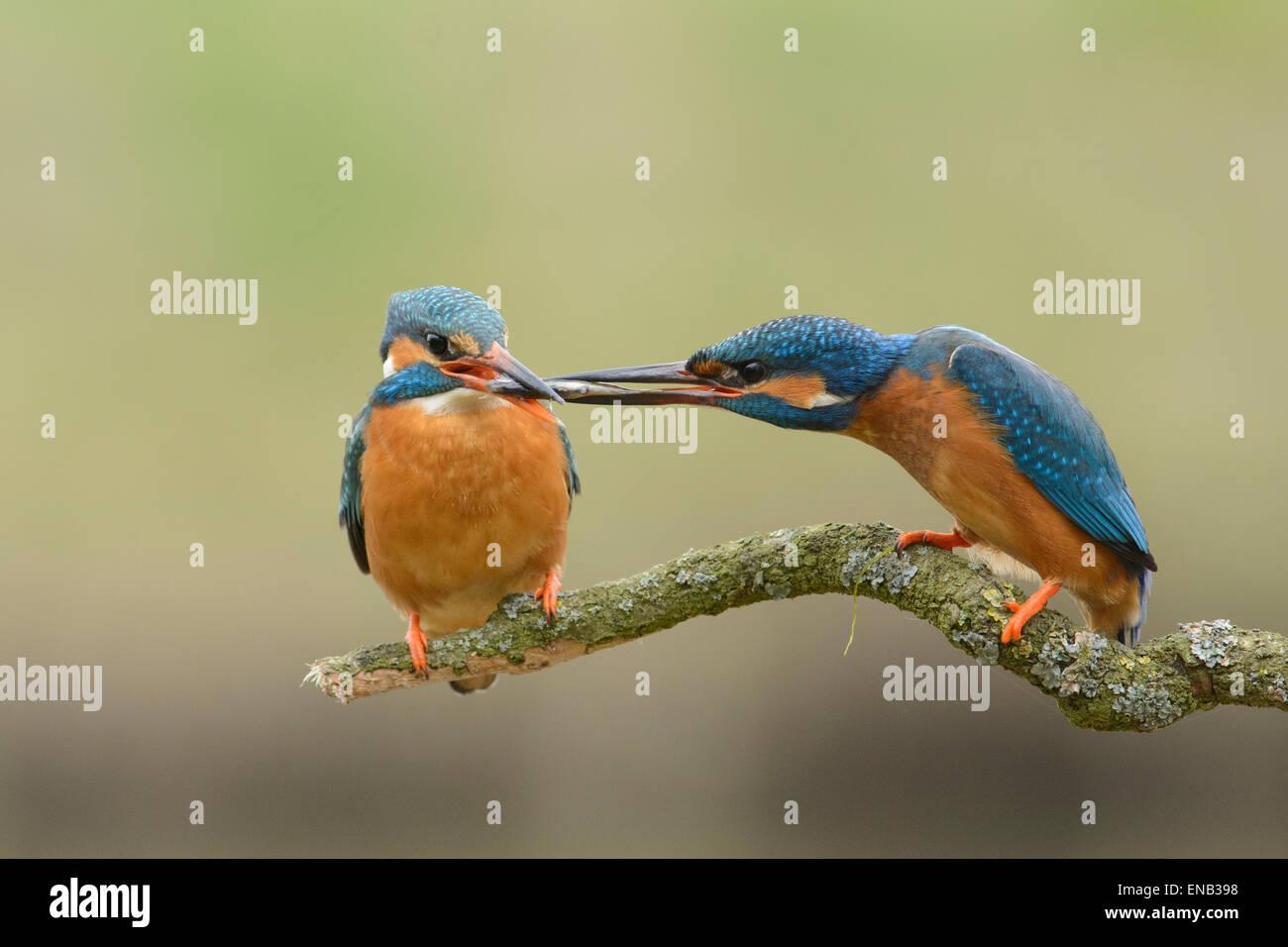 Il comportamento di corteggiamento di una coppia di martin pescatore. Il maschio offre un pesce per la sua femmina. Immagini Stock