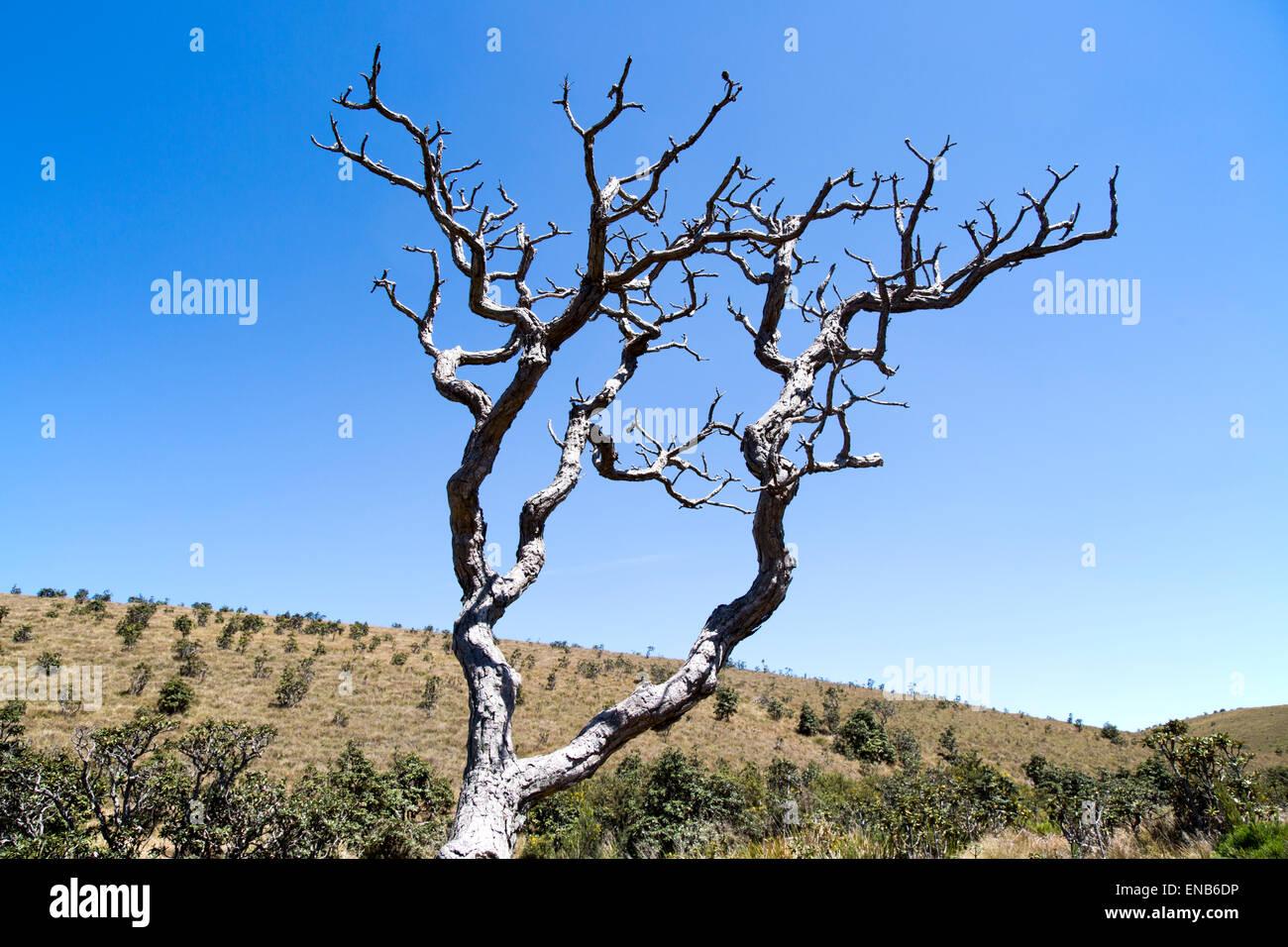 Immagine drammatica morti Rhododendron arboreum a rami di alberi cielo blu, Horton Plains national park, provincia Immagini Stock