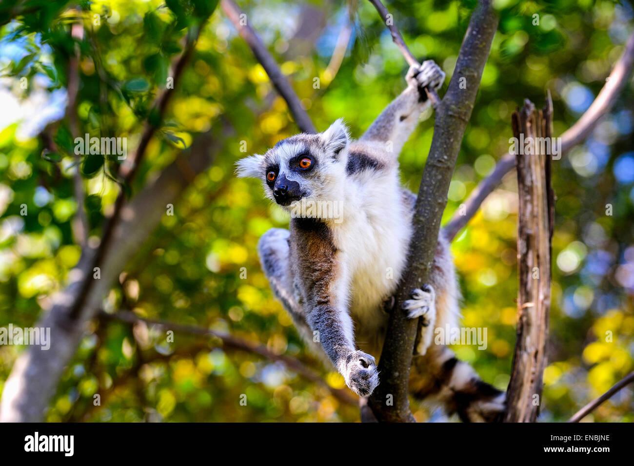 Anello-tailed lemur, lemuri catta, Anja, madagascar Immagini Stock