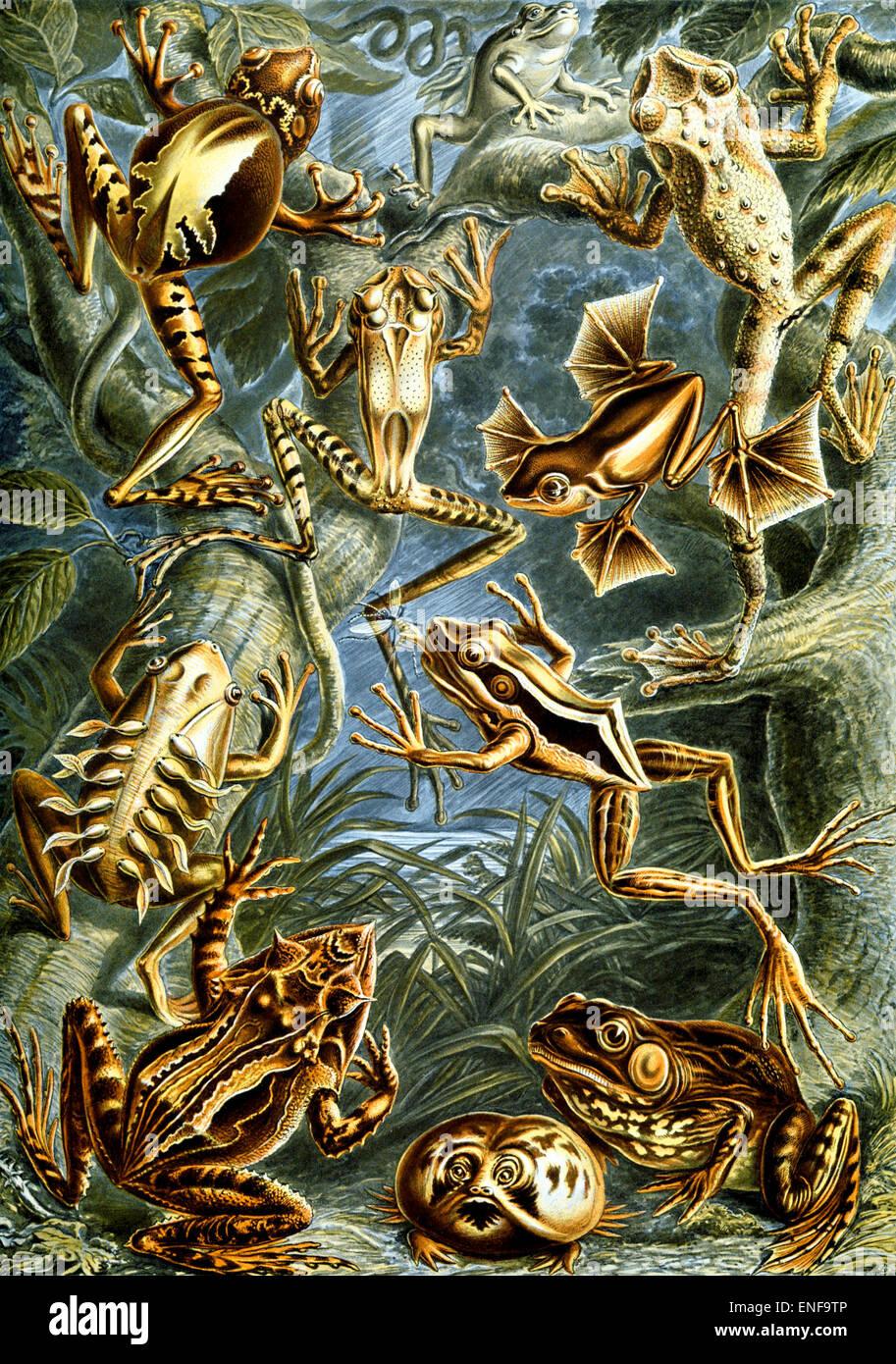 Batrachia (anfibi), da Ernst Haeckel, 1904 - solo uso editoriale. Immagini Stock