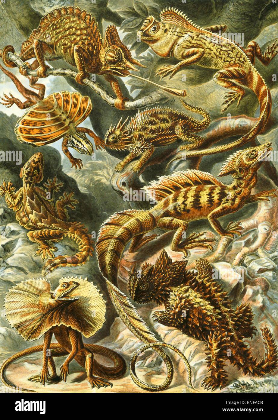 Lacertilia (lucertole), da Ernst Haeckel, 1904 - solo uso editoriale. Immagini Stock