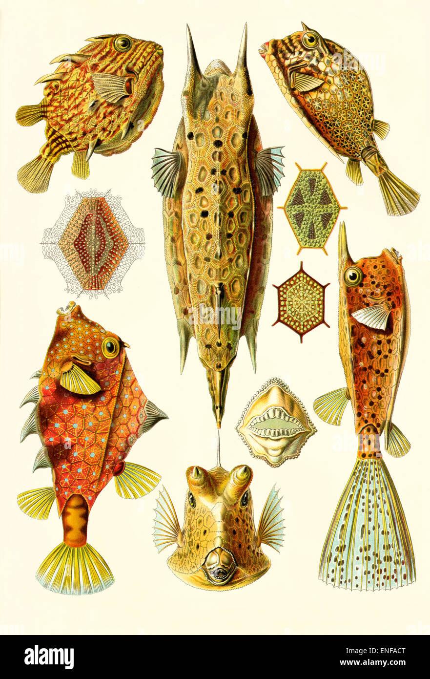 Ostraciontes (Trunkfishes), da Ernst Haeckel, 1904 - solo uso editoriale. Immagini Stock