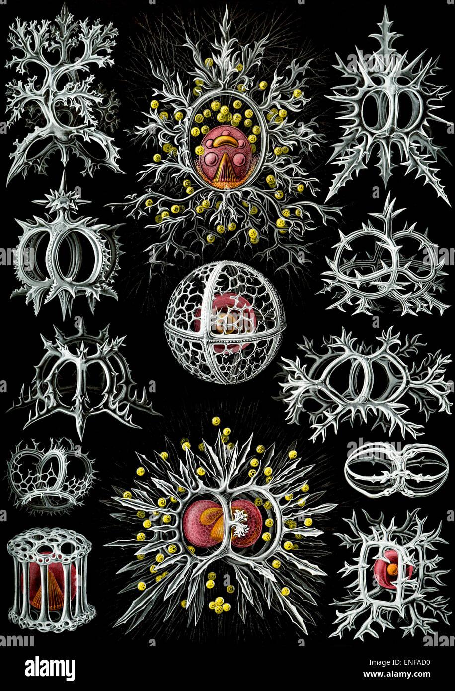 Stephoidea (lo zooplancton), da Ernst Haeckel, 1904 - solo uso editoriale. Immagini Stock
