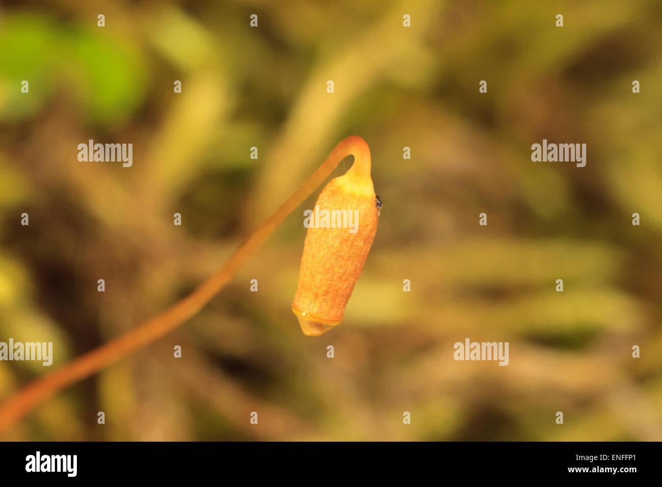 Moss matura capsula contenente spore Immagini Stock