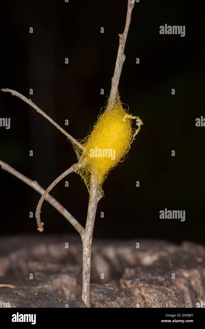Spider's uovo sac intrecciata con il giallo oro Seta, attaccato al bastone e contro uno sfondo scuro Immagini Stock