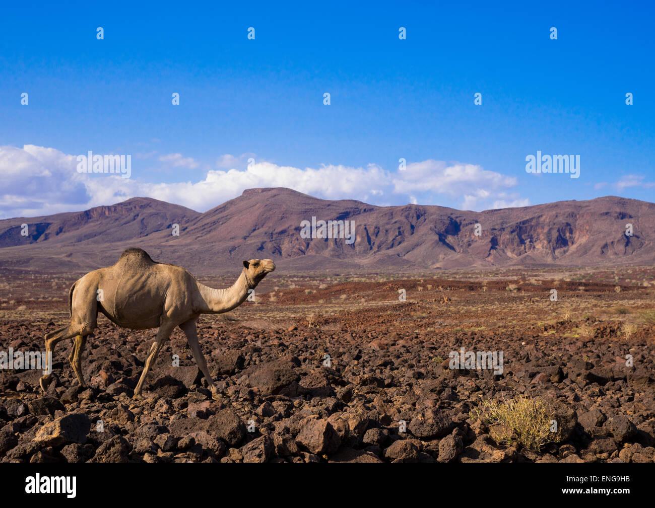 Cammello su rocce vulcaniche, Lago Turkana, Loiyangalani, Kenya Immagini Stock