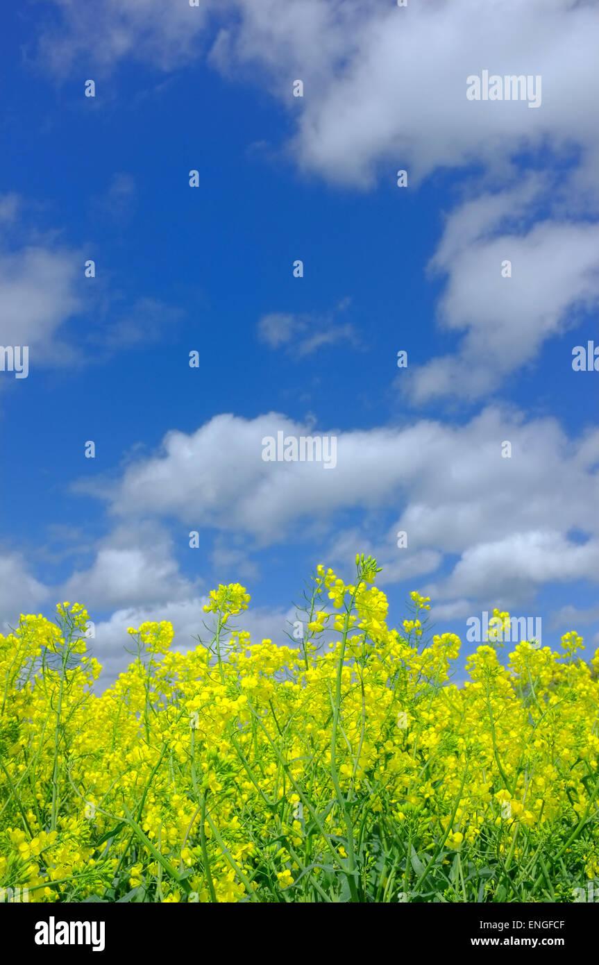 Il giallo dei fiori di colza contro il cielo blu Immagini Stock